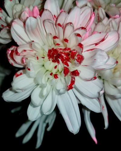 Valentine's day Carnation Carnation Flowers Carnation Closeup White Flower Red Color Pink Color Flower No People Petal Close-up Red Beauty In Nature Nature Freshness Day Fragility Flower Head