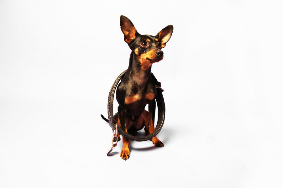 Alertness Animal Animal Themes Black Color Brown Close-up Curiosity Dog Domestic Animals Focus On Foreground Indoors  One Animal Pets Portrait Studio White Background