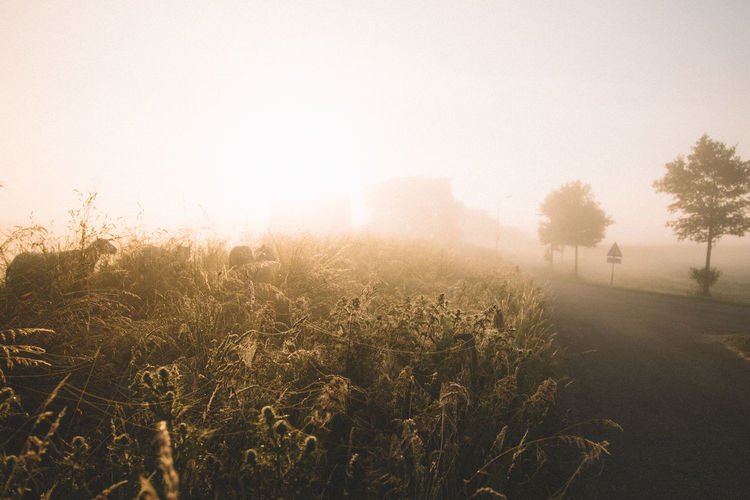 Love this Rural part of rhe Netherlands it is so enchanting! | Nature Field Growth No People Beauty In Nature Sunlight Outdoors Scenics Freshness Landscape Early Morning EyeEm Selects Thick Fog EyeEmNewHere Netherlands Agriculture Sheep Sheeps Tree Tranquil Scene Golden Hour Rural Scene Rural Travel Destinations Foggy Morning