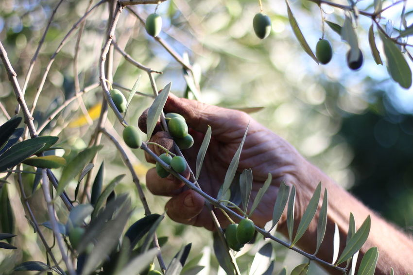 Branch Close-up Day Freshness Green Color Growth Holding Human Body Part Human Hand Leaf Nature Olive Olive Tree One Person Outdoors People Real People Tree