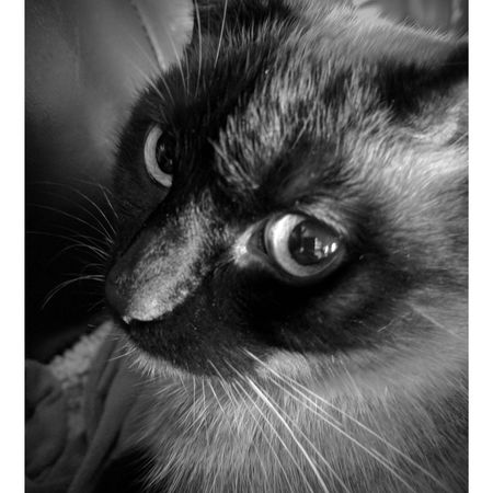 Black And White Photography Domestic Cat Pets Feline One Animal Animal Eye Cat Cats Of EyeEm Check This Out Cat Lovers Kitty Cat Nooni Pet Portraits