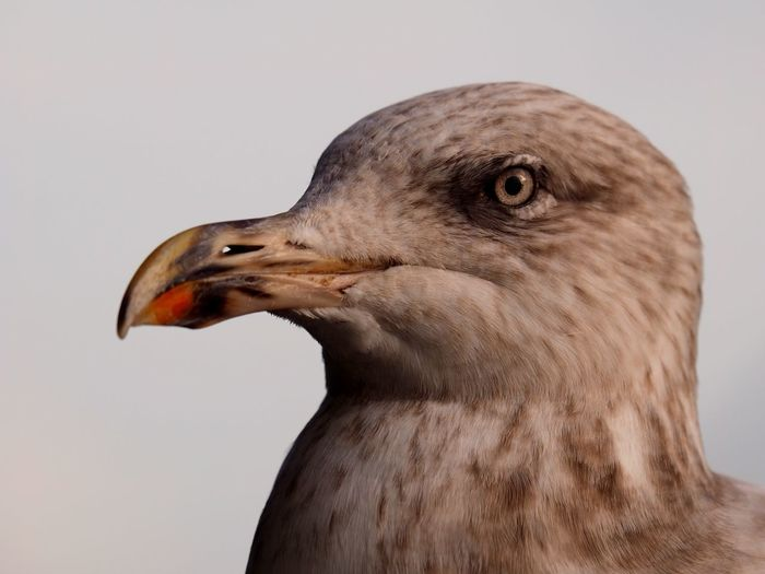 Portrait of a seagull. 11/11/2018 Seagull Seagulls Portrait Water Bird Sea Bird Sea Birds Gull Beauty In Nature Wildlife & Nature Wildlife OM-D Olympus Mzuiko Steve Merrick Stevesevilempire LONDON❤ London Thames