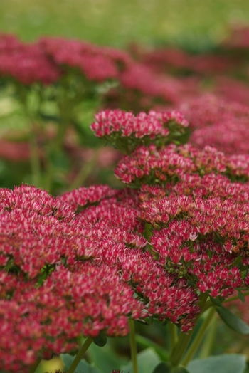 the great pink Flower Pink Color Close-up Selective Focus Focus On Foreground Plant Blossom October Hamburg Planten Un Blomen Park Autumn Outdoors Botany Sedum Sedum Telephium Sonya6000