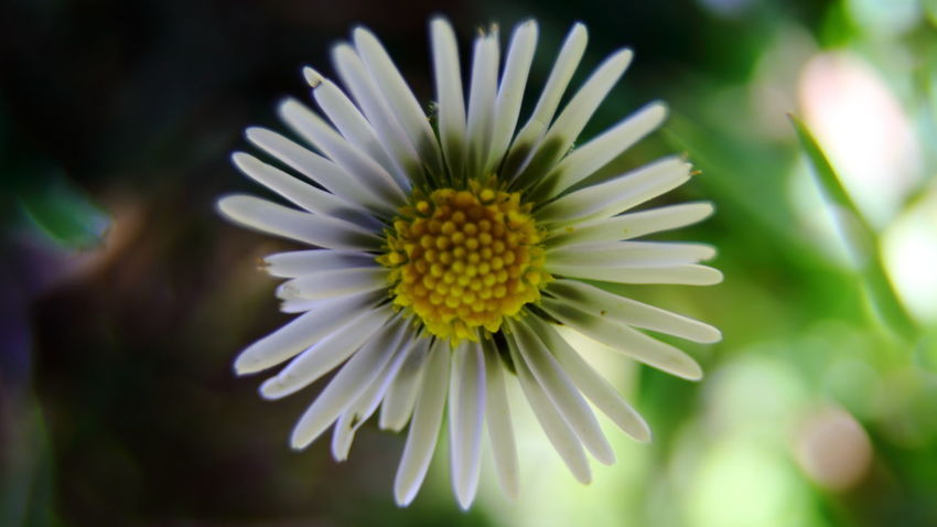 EyeEm Best Shots Macro Photography Beauty In Nature Close-up Day Eye4photography  Flower Flower Head Flowering Plant Focus On Foreground Fragility Freshness Growth Inflorescence Macro Nature No People Outdoors Petal Plant Pollen Selective Focus Spiky Vulnerability  White Color