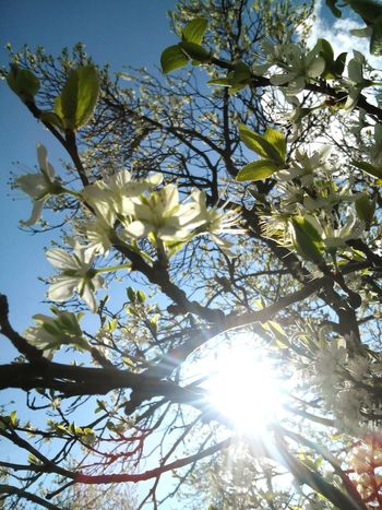 Summer ☀ Blossom Cherry Blossoms Sky Nature Photography Nature Love To Take Photos ❤ Pretty♡ Forestwalk Springtime Spring Flowers Marie Hannah CSI
