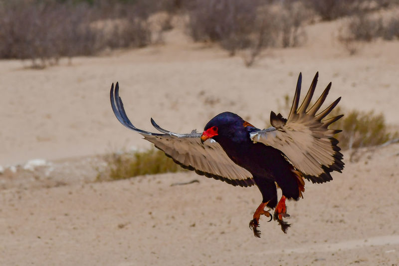 bateleur (Terathopius ecaudatus) about to land Bateleur Eagle Bird Of Prey Bird Of Prey In Flight Animal Animal Wildlife Animals In The Wild Bird One Animal Flying Spread Wings No People Nature Outdoors Beauty In Nature EyeEm Nature Lover EyeEm Birds Wildlife Photography Birds Of Africa Eagle Kgalagadi Transfrontier Park Desert Beauty Desert Life
