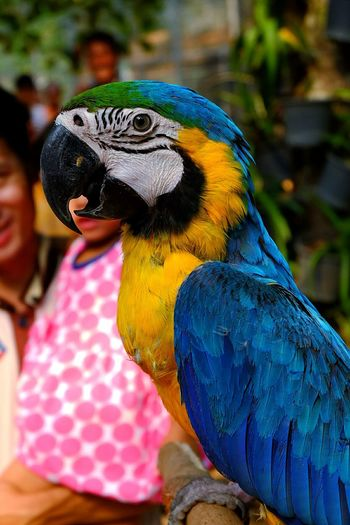 Gold and blue macaw by father and daughter at zoo