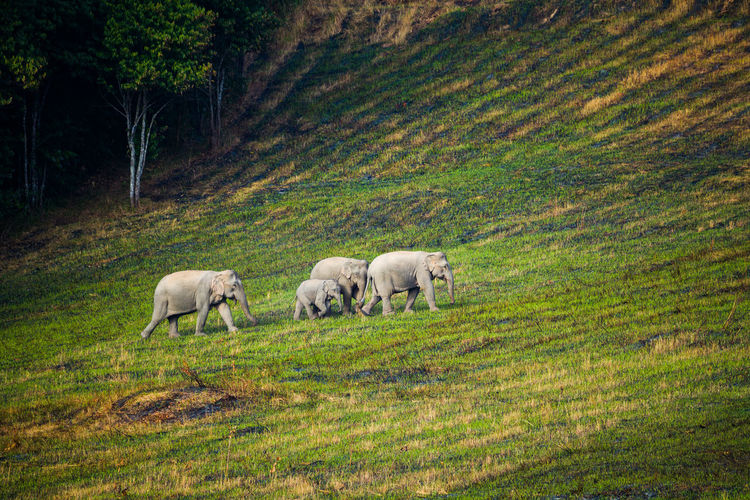 Elephants walking on land