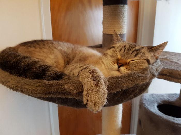 Cat British