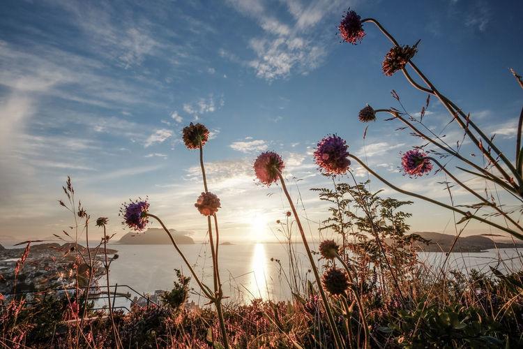 View on islands near Ålesund. Late Summer Godoy Hiking Islands Norway Plants View Wanderlust Beauty In Nature Flower Low Angle View Scenics - Nature Seaview Sky Stadtlander Sundown Sunlight Tranquil Scene Ålesund, Norway Ålesundkommune