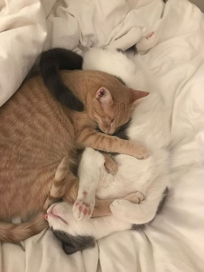 Cute Cats Cute Pets Kittens Ying Yang Yingyang Yin Yang Cats Relaxation Mammal Bed Lying Down Resting Domestic Cat Indoors