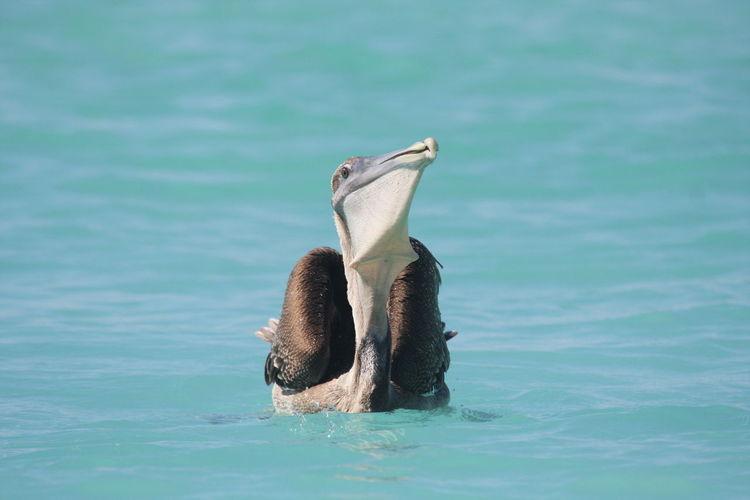 Pelican swimming on sea