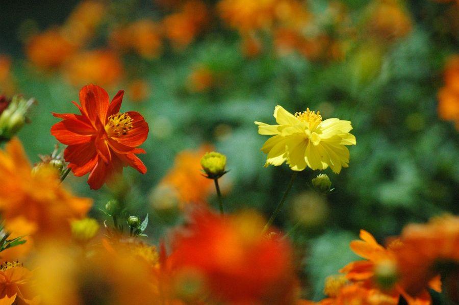 キバナコスモス Flowers July