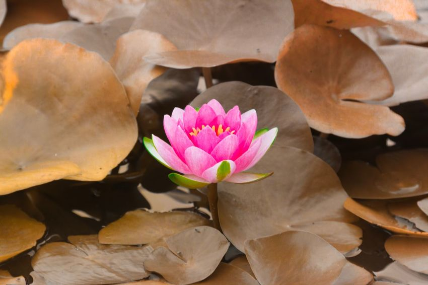 water lily EyeEmNewHere EyeEm Selects EyeEm Gallery EyeEm Best Shots Flowering Plant Flower Plant Freshness Pink Color Beauty In Nature Fragility High Angle View Plant Part Day Petal Flower Head Vulnerability  Inflorescence Nature Close-up Growth No People Water Lily Leaf