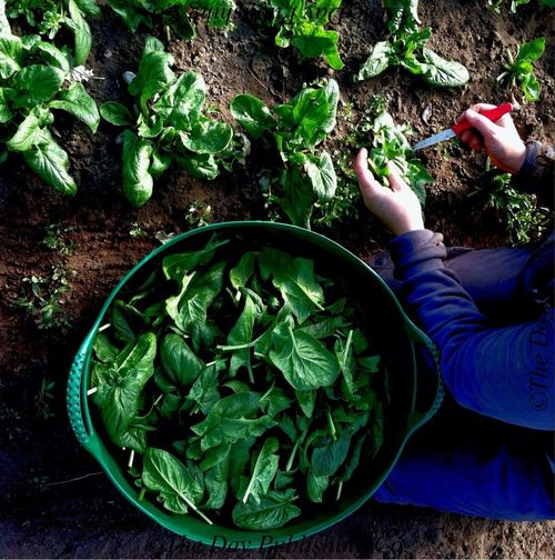 Harvesting winter spinach.