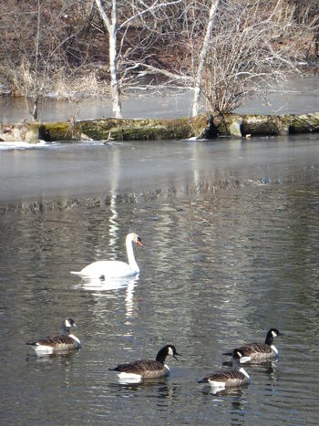 Animal Themes Animal Wildlife Animals In The Wild Beauty In Nature Bird Day Floating On Water Geese Lake Nature No People Outdoors Swan Swimming Tree Water Water Bird Waterfront