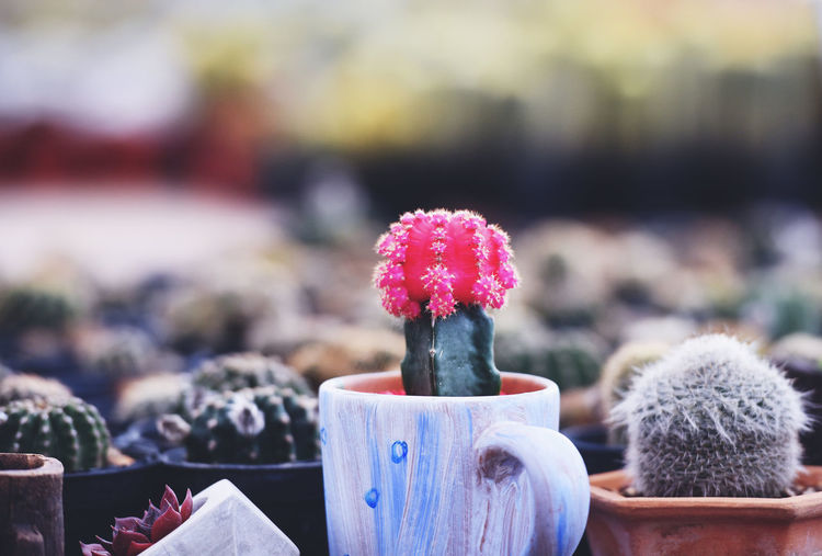 Close-up of cactus plant in winter