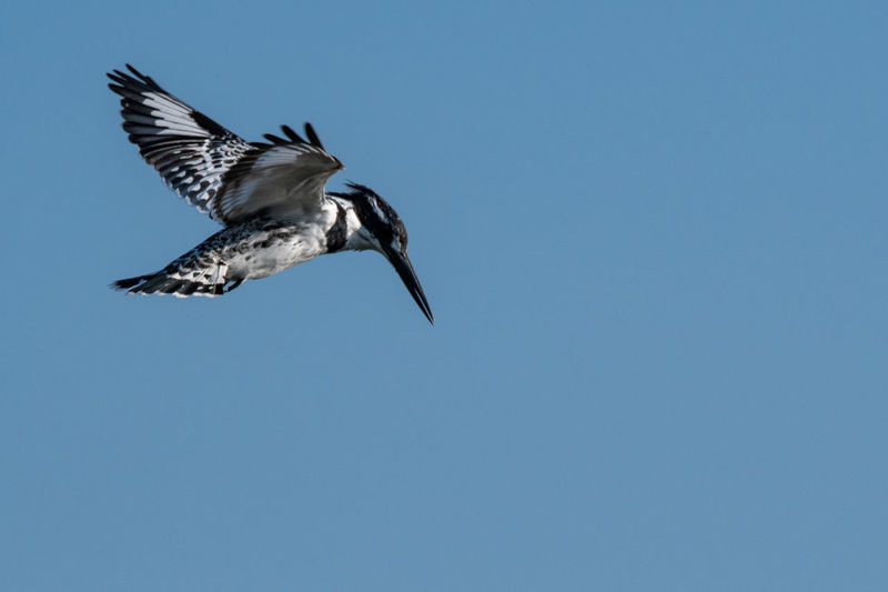 Pied Kingfisher hovering EyeEm Birds Kingfisher Pied Kingfisher Animal Animal Themes Animal Wildlife Animals In The Wild Bird Blue Clear Sky Copy Space Day Flying Low Angle View Mid-air Motion Nature No People One Animal Outdoors Sky Spread Wings Vertebrate