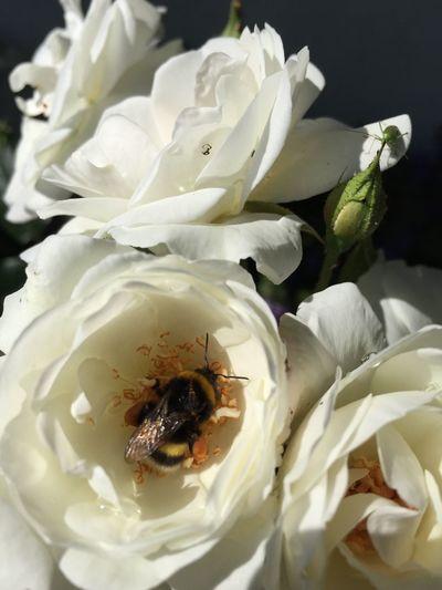Rose🌹 Kertemből Flower EyeEm Nature Lover MyPhotography Hungary Kaposvár Hello World Beporzás