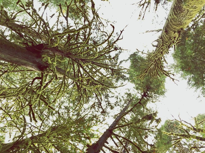 Mossy Tree Mossyforest Moss Mossporn Low Angle View Olympic National Park