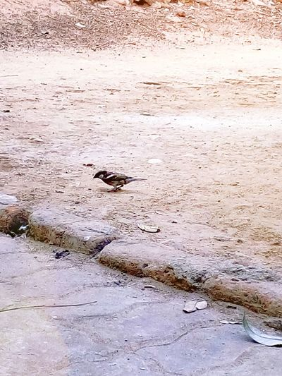 Couldn't capture perfectly!!! Within sec.. They flew away with their food! They r extinct species due to radiation!Species Of Sparrow Extinct Species Birdstagram Birds Of EyeEm  Birds_collection Bird Photography Sparrow Bird Sparrow Watch Endangered Species EyeEm Best Shots EyeEm Nature Lover EyeEm Gallery
