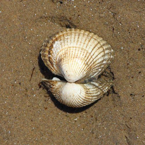 Shells🐚 Seashell Seashell Close-up Seashells From The Seashore Seashells, Rocks, Sand Seashell Seashell, By The Sea Shore Seashells Sand & Sea Sand