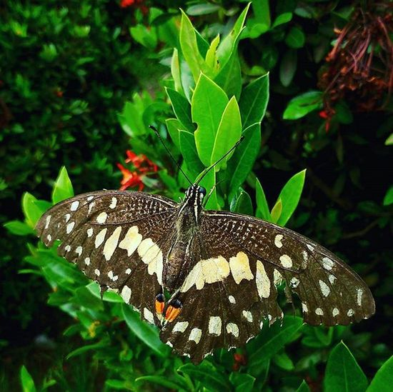 kupu-kupu depan rumah, dia mau ternyata di foto jarak dekat 😂😁 Butterfly Wonderful IXP Macro