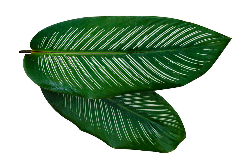 Calathea Medallion Calathea Crocata Leaves🌿 Beauty In Nature Calathea Close-up Copy Space Cut Out Fragility Freshness Green Color Indoors  Leaf Leaves Leaves_collection Natural Pattern Nature No People Palm Leaf Plant Plant Part Single Object Still Life Studio Shot White Background