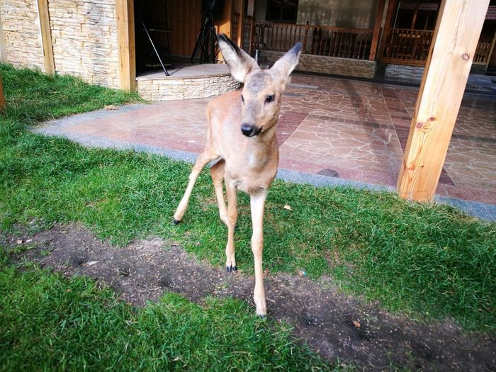 Animal Themes Domestic Animals One Animal No People Grass Pets Young Roe Deer