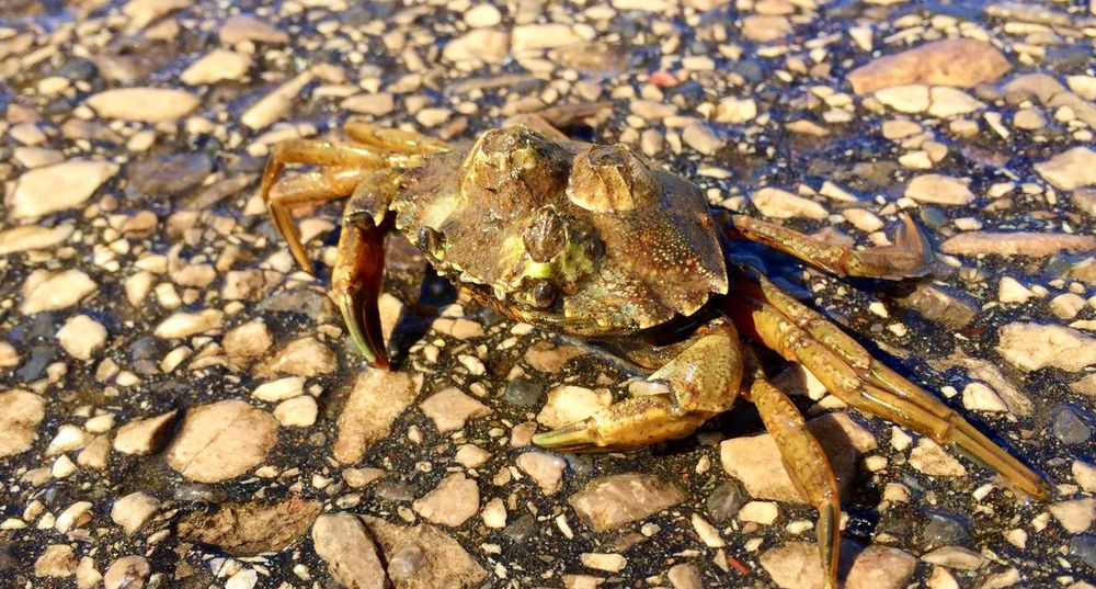 hitching a ride Marine Shoreline Shore West Kirby Marine Lake Crabbing Crustacean Barnacles Carcinus Maenas Shore Crab Animal Wildlife Animal Themes Animal Animals In The Wild Land Close-up No People Nature Day Crab Invertebrate High Angle View Sunlight Outdoors
