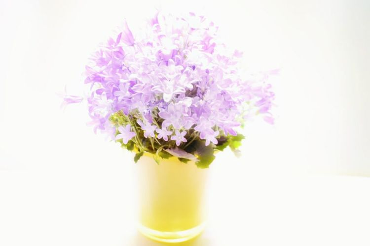 Flower No People Purple Plant Flower Head Close-up Nature Freshness Fragility White Background Flower Arrangement Beauty In Nature Indoors  Day Nature_collection Blossoms  Indoor Indoor Photography Petals Plant Photography Plant Green Hi Key