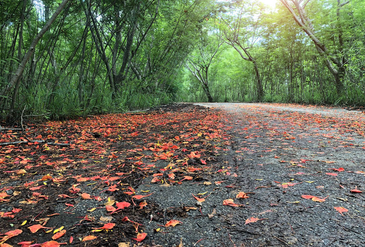 Red flowers that fall on the streets and green forests. Flower Abstract Autumn Background Beautiful Beauty Color Colorful Covered Dark Fall Foliage Forest Front Green Landscape Leaf Leafs Light Nature October Orange Outdoors Path Plant Red Road Season  Street Tree Vibrant Yard