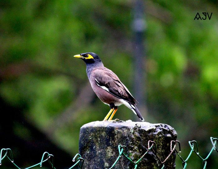 The Indian Myna....... Taking Photos Check This Out Birds Birds Of EyeEm  The Purist (no Edit, No Filter) Follow4follow Nature Photography Birds🐦⛅ Nature Animals Myna