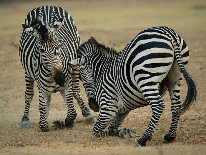 Meine Kniee beugen sich, Ihre Streifen säumen mich. Jenseits von Bebra, gestriffen vom Zebra. Punkt. Pünktlich ist mir fremd, Afrika heimelich. Luangwas Löwen liken sich, zähl Büffel und büffel nicht! Ach abgefahrenes Afrika komm doch zu Dir! Oh ruppig rappende Rappen...wie soll das gehn...ach, niemals zu verstehen! ... Ein Bogen im Regen der Text verwegen - von Wegen... Zebras Wildlife Fight On Your Knees Stripes Everywhere Zebra Stripes Tadaa Community Rituals Safari Zambia Learn & Shoot: Balancing Elements Nature's Diversities South Luangwa