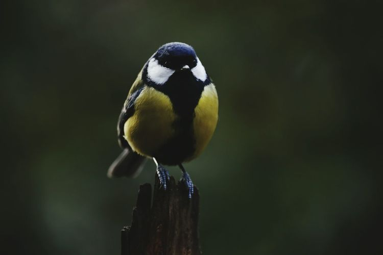 Close-up of eurasian blue tit perching on wooden post