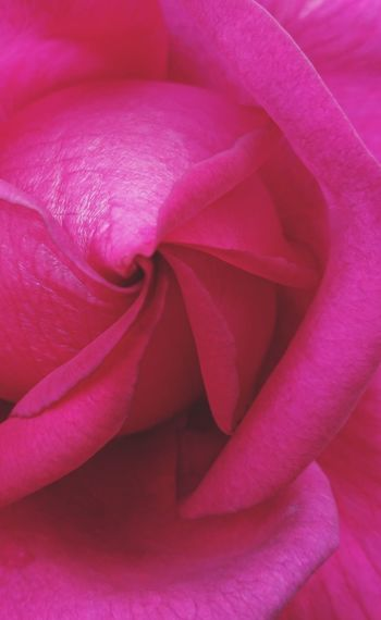 Heart of the rose Pink Color Beauty In Nature Centre Perspective Perspectives on Nature Flower Head Flower Backgrounds Full Frame Petal Pink Color Close-up Blossom Single Rose Focus Spring Softness Botanical Blossoming  Flora Botany