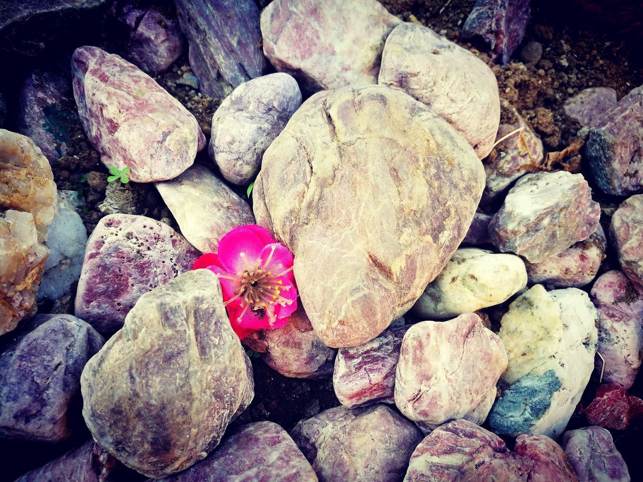 rock - object, nature, no people, pebble, outdoors, day, flower, close-up, pebble beach, animal themes, beauty in nature, fragility, flower head, freshness
