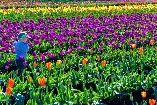 WOODBURN, OR - MARCH 30: Young child in a tulip field in Woodburn, OR on March 30, 2016 Agriculture Bloom Blossom Countryside Farm Field Fields Floral Flower Flowers Garden Green Landscape Nature Oregon Outdoors Plant Rural Scenic Season  Tulip Tulips United States USA Woodburn