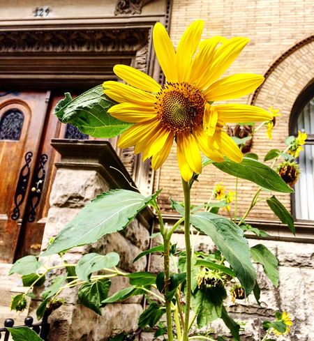 Summer's last sunflower Flowers Photography Summer New York Getty Images Nature EyeEm Nature Lover