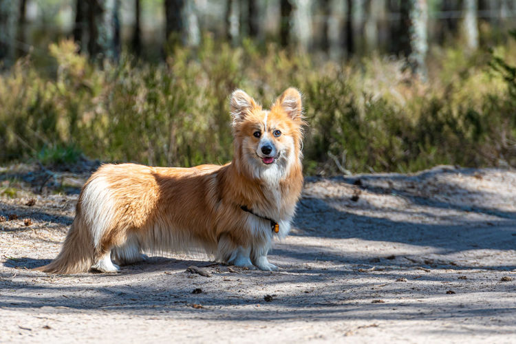 Beautiful portrait of a red welsh corgi pembroke dog in the forest on a sunny spring day