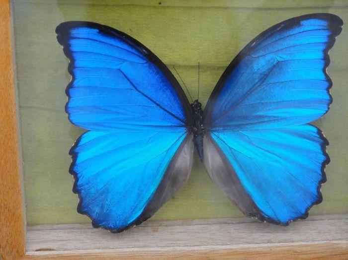 Butterfly Lima