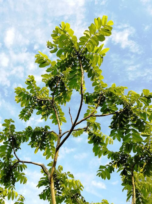 Young Manchurian nut tree against the sky Juglans Juglans Mandshurica Nature Beauty In Nature Tree Summer Day Relict Manchurian Walnut Nut Tree Manchurian June Young Tree Leaves Tree Plant Part Branch Leaf Blue Forest Sky Close-up Plant Cloud - Sky Treetop