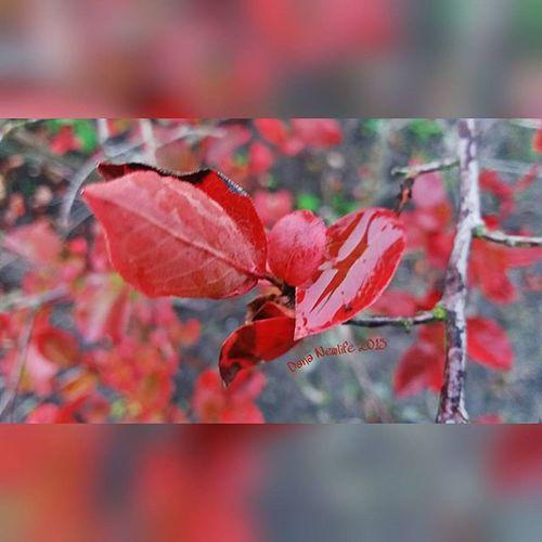 Leaves🍁💧 Leaves Red Leaves Rain Rainy Day Nature Love Nature Red Red_colour листики листья Листочки красные_листья Дождь дождик дождливая_погода дождливый_день Природа люблю_природу красный красный_цвет