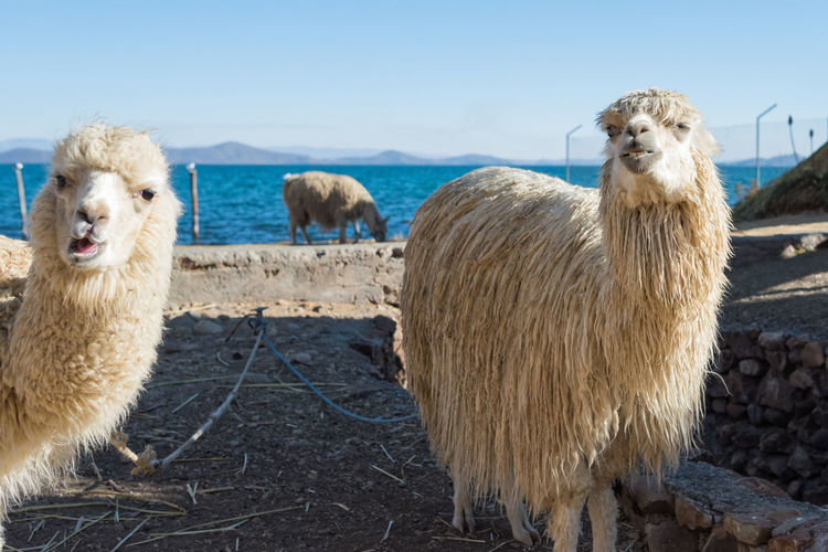 Photobombed by an alpaca Alpaca Animal Hair Curiosity Domestic Animals Fiber Front View Herbivorous Livestock Looking At Camera Mammal Outdoors Standing Animals Facial Expressions Two Animals Two Is Better Than One Young Animal Photobomb Zoology in Lake Titicaca , Bolivia