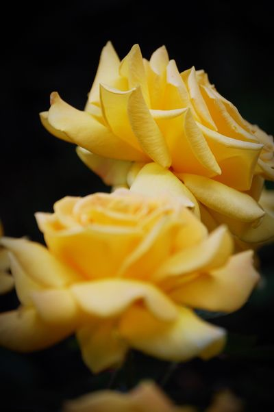 Flower Petal Flower Head Freshness Fragility Yellow Beauty In Nature Nature Close-up Black Background No People Blooming Studio Shot Growth Night Outdoors Rose - Flower Yellow Flower Black Desenfoque