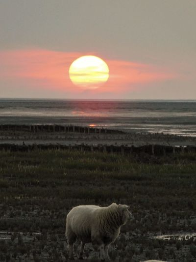 Sheep in the sunset