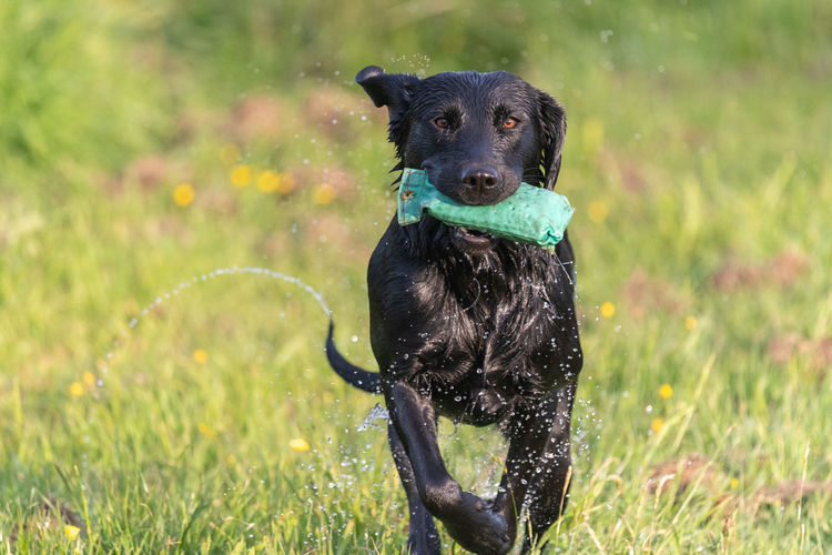 Close up of a wet black labrador running through a field while carrying a training dummy