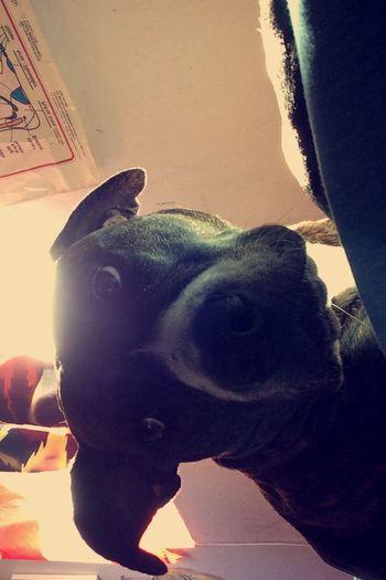 #Cute #pitbull #dog #animals #pics #cuteness #adorable #cutefaces #Faces Dogs