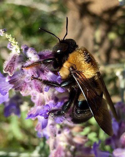 Buzzzzzzzzz. Bumblebee On Flower Bumblebee Macro