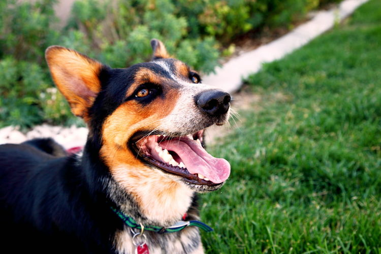 Close-Up Of Dog Sticking Out Tongue While Resting On Grassy Field